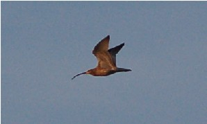 Brachvogel