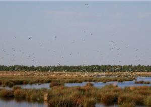 Beeindruckend war die Lachmöwenkolonie mit mindestens 200 Brutpaaren